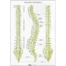 Columna vertebral - Lámina desplegable